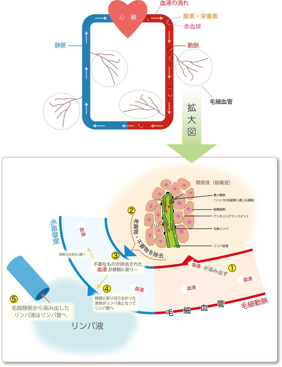リンパ液の循環